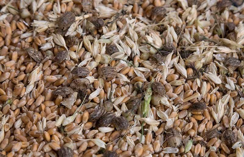 Производители зерновых сепараторов (фото свежеубранного зерна)